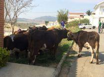 vacas-1
